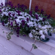 Snowy flowering window box