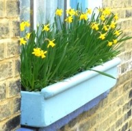 1 Daffodil windowbox
