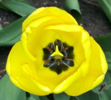 4 Yellow tulip