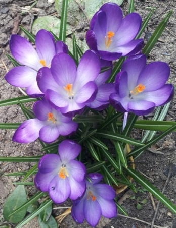 6 Purple crocuses