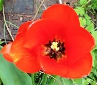 8 Red tulip